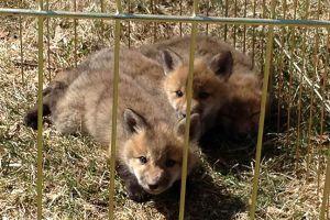 goodman_foxes.jpg